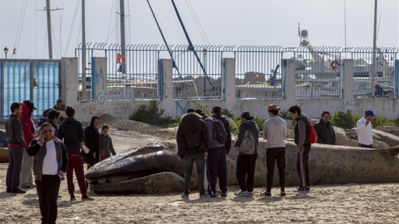 Beaching of marine mammals is becoming more common on Tunisia's coast [Aymen Ben Mansour/Al Jazeera]