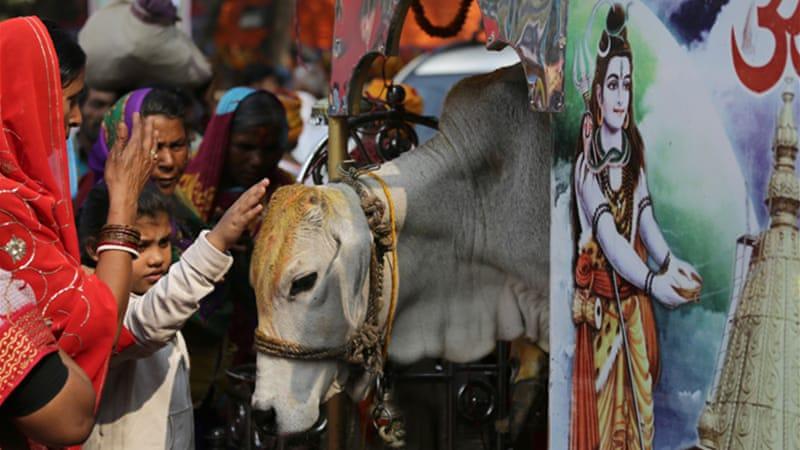 Sacred cows and politics of beef in India | Bangladesh | Al Jazeera