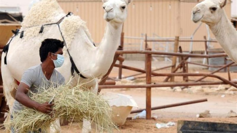 Saudi Arabia warned that anyone working with camels should take precautions by wearing masks and gloves [AFP]
