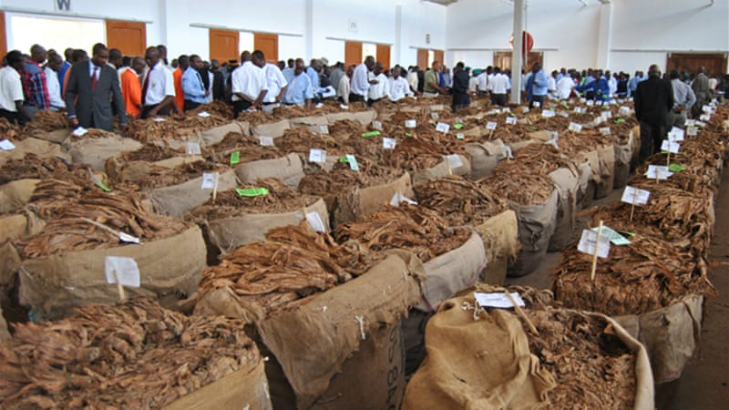 Tobacco being marketed during an auction in Limbe, Malawi [Lameck Masina/Al Jazeera]
