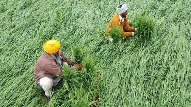 Rain damage in a field of young wheat outside Amritsar [Getty Images]