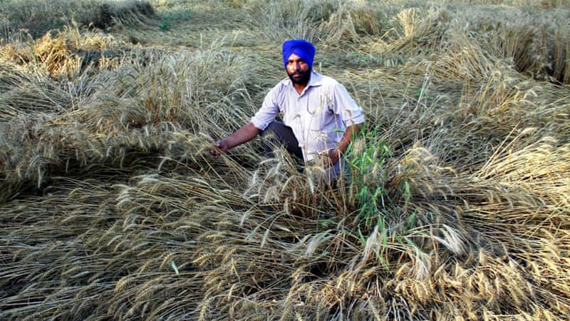 April storm damage to ripe wheat in Patiala, India [Getty Images]