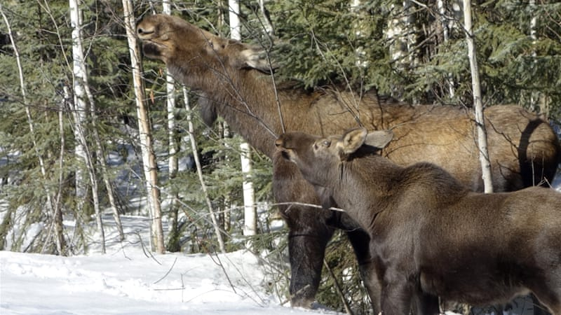 Fairbanks grazing rights for moose cow and calf [GETTY]