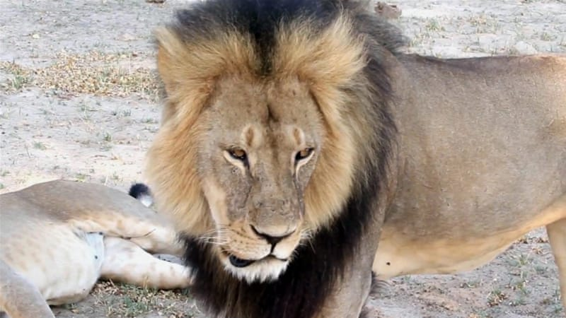Cecil died 40 hours after he was initially wounded [AP]