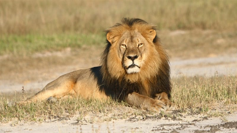 US dentist Walter Palmer allegedly paid $50,000 to kill Cecil who was a popular tourist attraction at Hwange national park [AP]