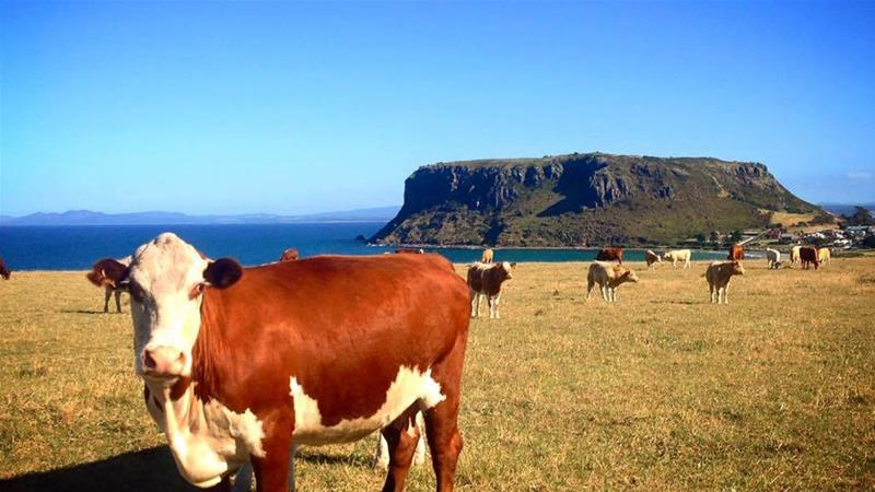 Cattle with a view, The Nut, Tasmania. [Hannah Ledger, Discover Tasmania]