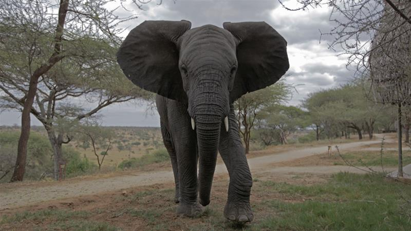 White Gold: The Shadowy Trade in Illegal Ivory