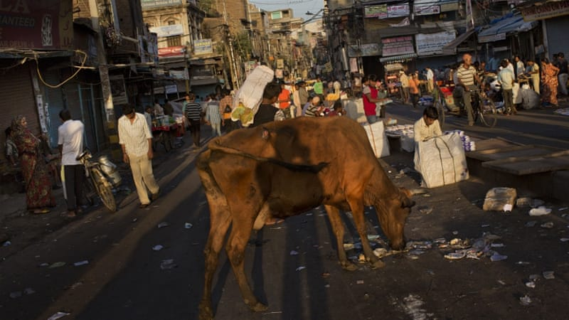 Cows are sacred to Indian Hindus [AP]
