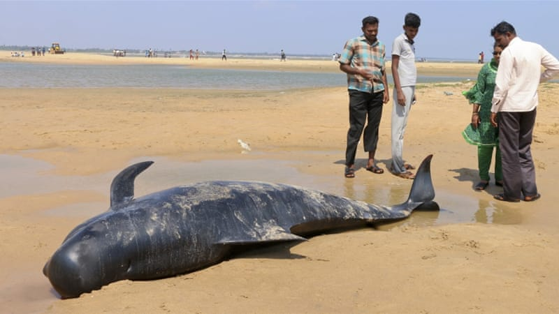 Scientists said the whales were disorientated, with some whales returning to the beach after their rescue [Senthil Arumugam/AP Photo]