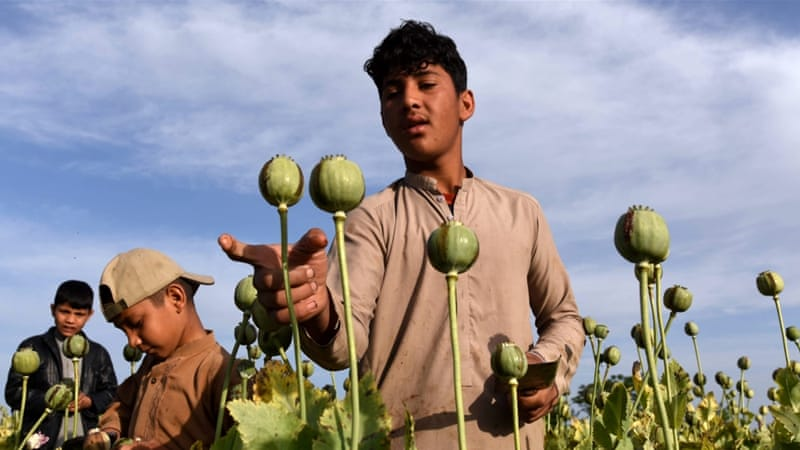 Opium trade up in Afghanistan