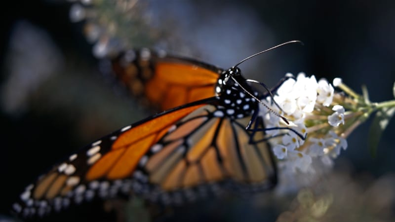 A monarch butterfly sits on a flower in Dallas, Texas, in the unseasonal warmth [EPA]