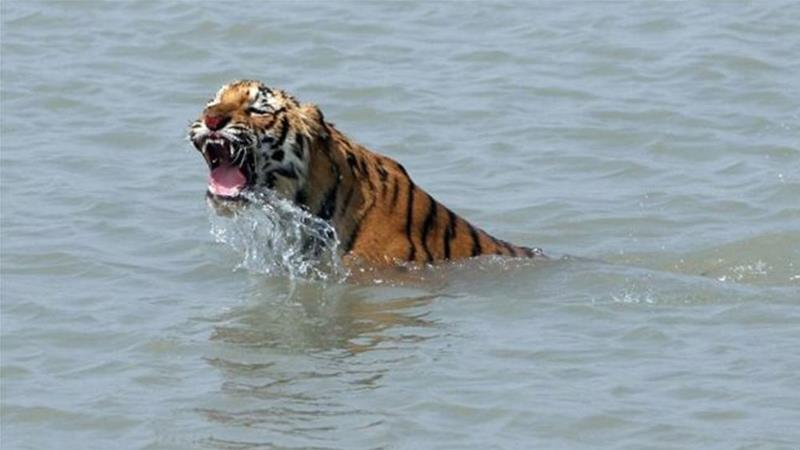 Tiger turf wars in Bangladesh's Sundarbans