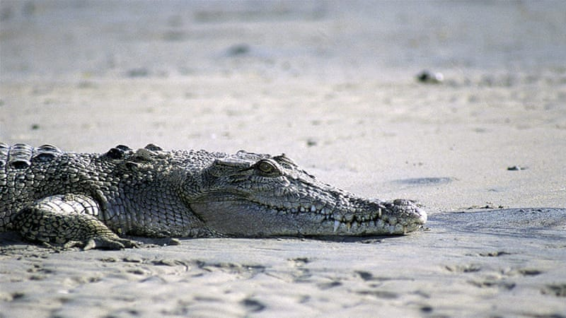 a7cdc5df83b5 Crocodile snatches Australian woman during night swim