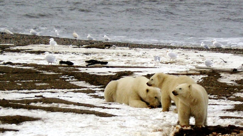 Polar bears and caribou are among several species that use the Arctic National Wildlife Refuge's coastal plain [Reuters]