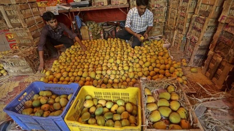 Selecting mangoes for market in Mumbai [EPA]