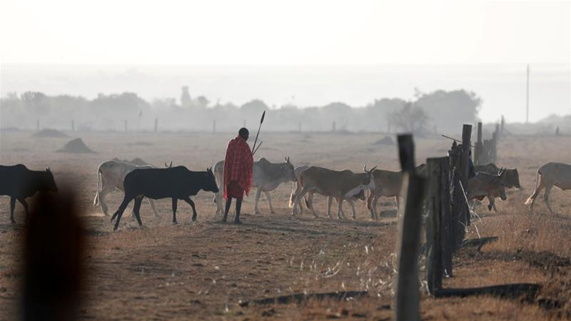 A Samburu tribesman and cattle herder looks on as cows walk through a fence destroyed by other Samburu tribesmen in Mugui conservancy, Kenya [Goran Tomasevic/Reuters]
