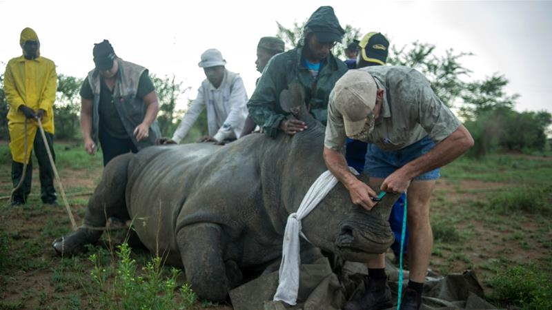 A ranger measures a rhino's horn to be trimmed at John Hume's Rhino Ranch in Klerksdorp [File: Mujahid Safodien/AFP]