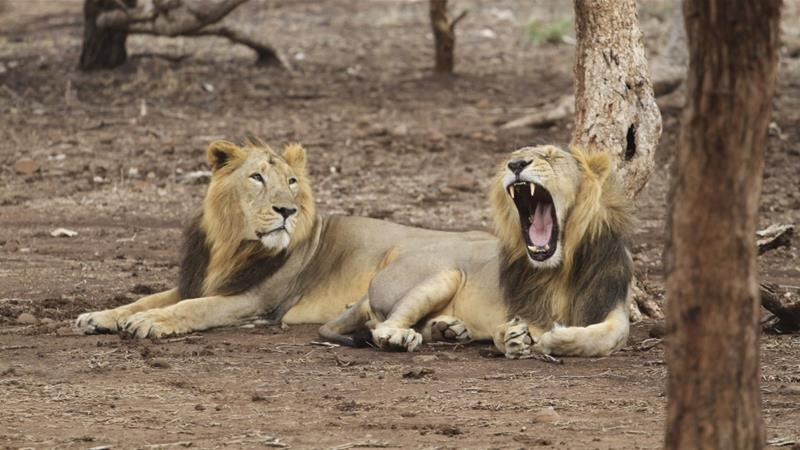 Animals Black And White Elephants 10000 Lions Big Cats: Concern As Endangered Lions Get Sick And Die In India