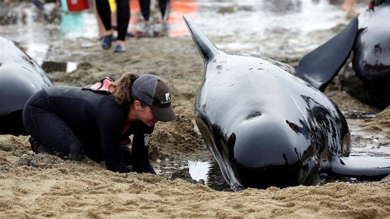 145 pilot whales die after getting stranded on New Zealand beach