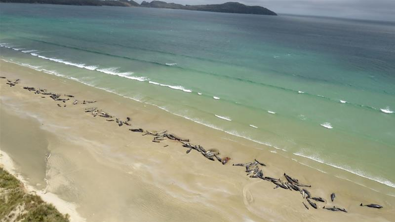 The incident comes less than a week after another group of 145 pilot whales was found dead at a beach on Stewart Island [EPA-EFE via Department of Conservation]