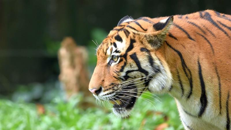 A Malayan tiger, one of rive remaining tiger subspecies, is under the threat of extinction in Malaysia [Shariff Mohamad/WWF-Malaysia]