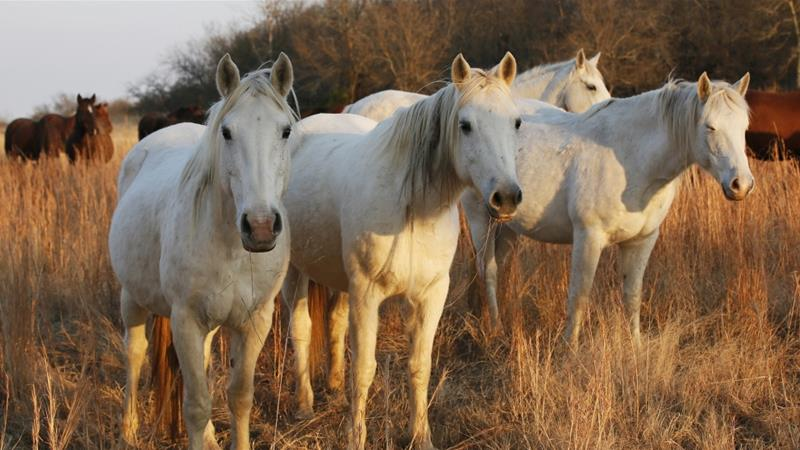 US plans to reduce number of wild horses