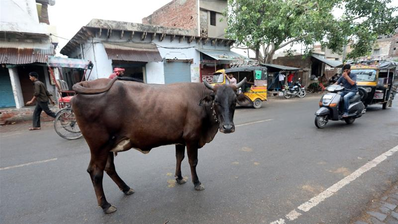 Many Indian states, including Rajasthan, outlaw cow slaughter with some also banning the sale or transport of beef products [File: Harish Tyagi/EPA]