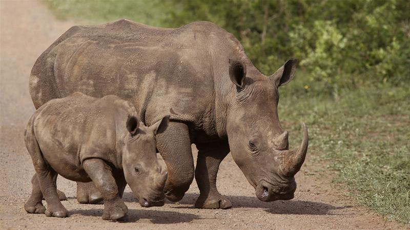 Malaysia foils 'record' rhino horn smuggling attempt