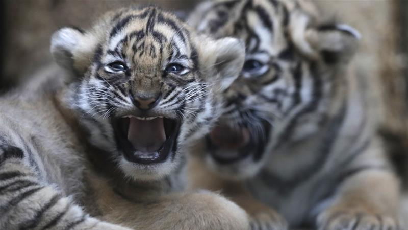 Nepal still has four years to increase its tiger population under the WWF plan [Petr David Josek/AP Photo]