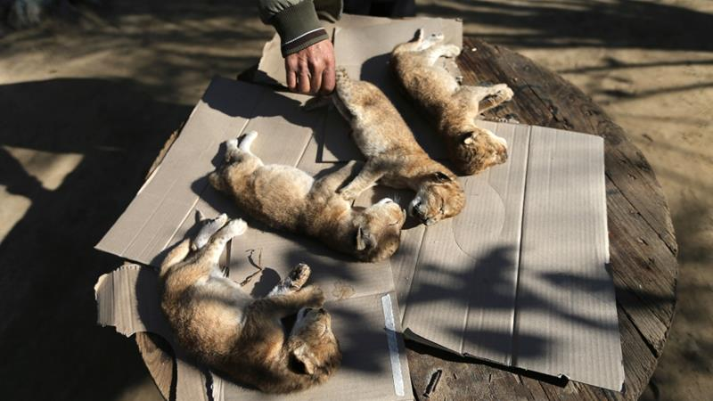 A Palestinian man checks the bodies of lion cubs that died at a zoo in the southern Gaza Strip [Ibraheem Abu Mustafa/Reuters]