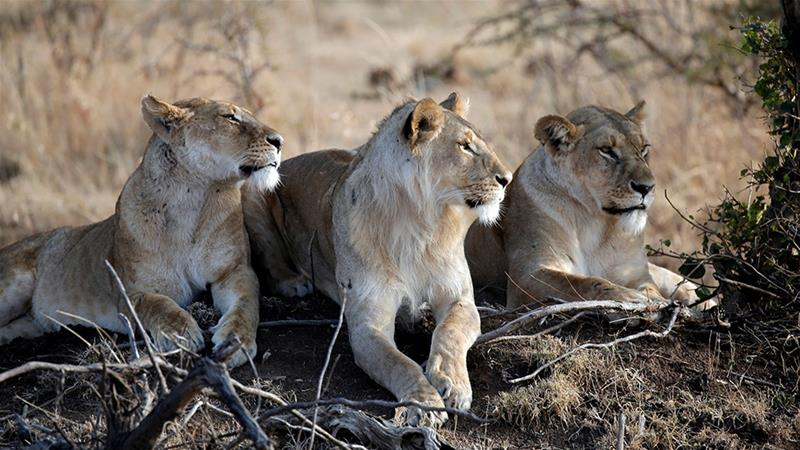 The lion population in the 15 conservancies managed by the Maasai Mara Wildlife Conservancies Association has doubled in the past ten years [File: Goran Tomasevic/Reuters]