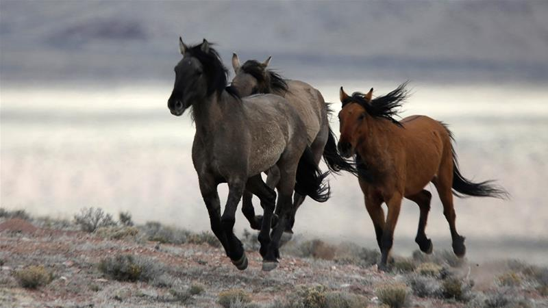 Wild horses roam free in parts of the US west. [File: Jim Urquhart/Reuters]