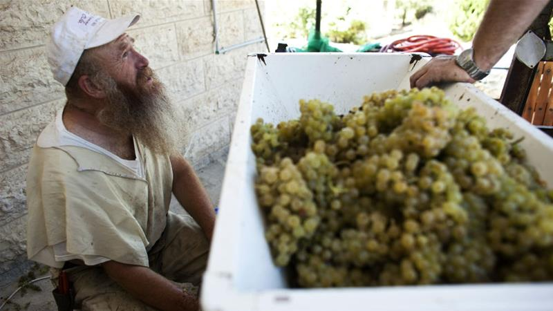 Vine-grower Gershon Ferency with freshly harvested Chardonnay grapes at his winery in the Jewish-only settlement of Bat Ayin, south of Bethlehem in the occupied West Bank [Nir Elias/Reuters]