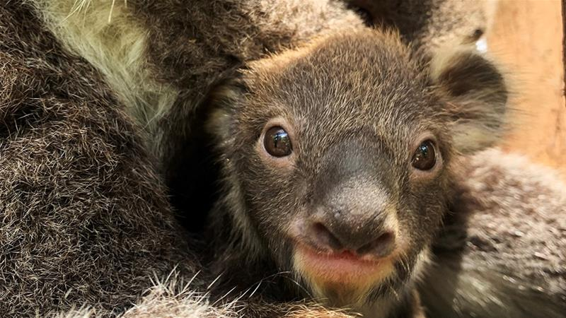 Melbourne Zoo's new arrival peeks out from its mother's pouch, the first baby koala born at the zoo in more than eight years [Melbourne Zoo/Al Jazeera]