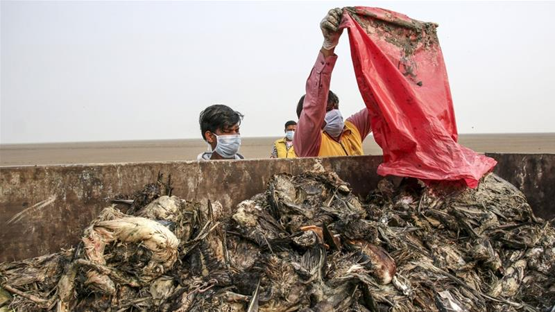 Experts In India Find Out How 18 000 Birds Died In 10 Days