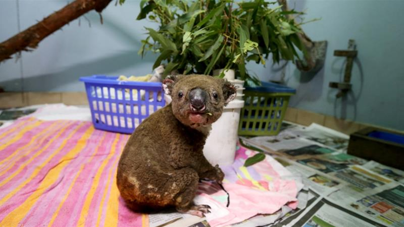 A koala named Paul from Lake Innes Nature Reserve recovers from his burns [File: Nathan Edwards/Getty Images]
