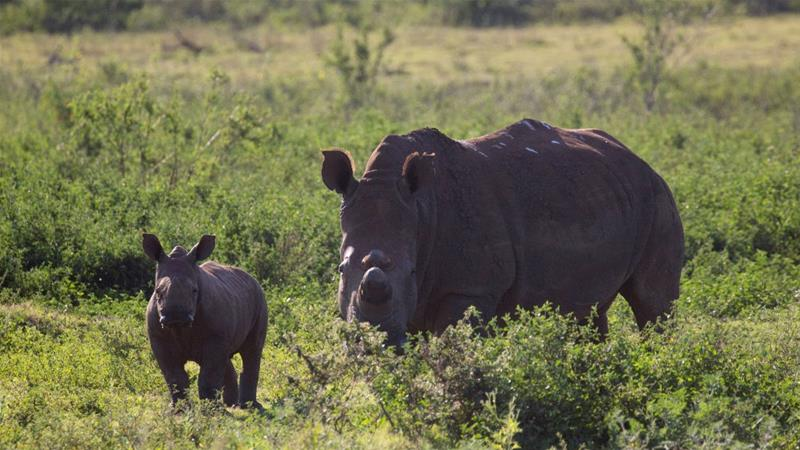 There are fewer than 29,000 rhinos alive in the wild and in captivity [Rogan Ward/Reuters]