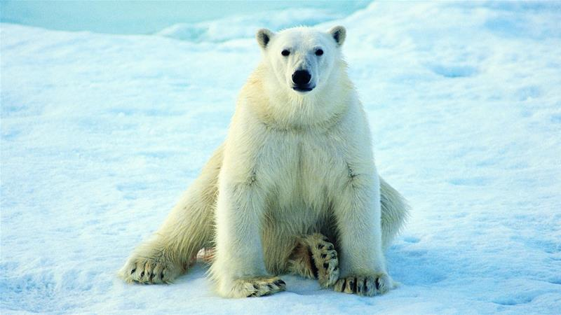Remote Russian region `scared' of polar bear `invasion'