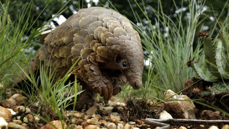 Singapore busts reveal loss of 38,000 endangered pangolins