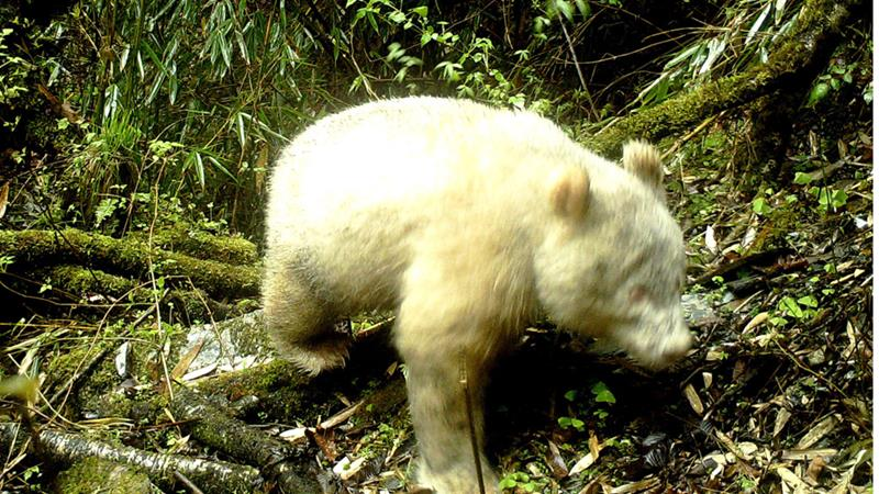 Rare albino Panda caught on camera