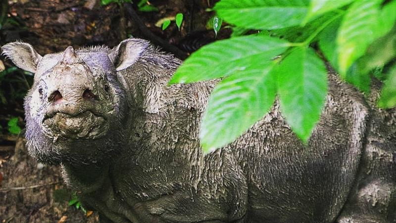 Tam. the last male Sumatran rhino in Malaysia, died on Tuesday at the age of about 30 [Raymond Alfred/WWF-Malaysia]