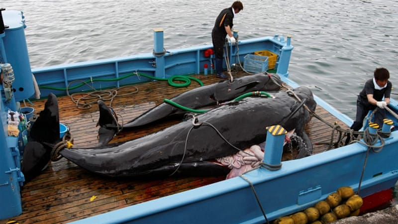 Why is Japan killing whales?