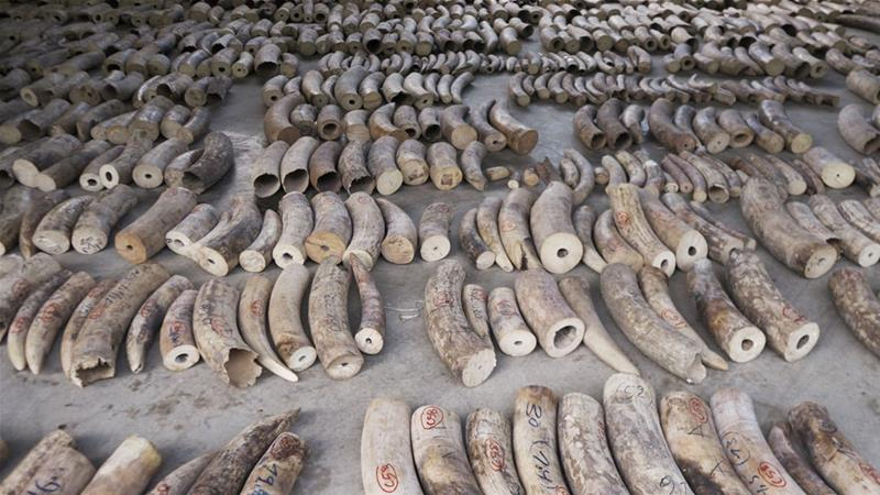 Singapore seizes record haul of elephant ivory