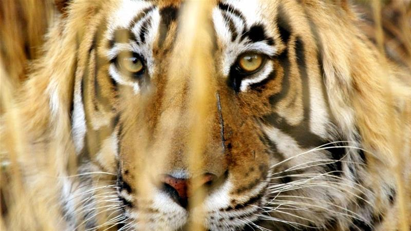 The tiger is India's national animal and a conservation effort has been running for decades to increase their numbers in the country [File: Kevin Lamarque/Reuters]