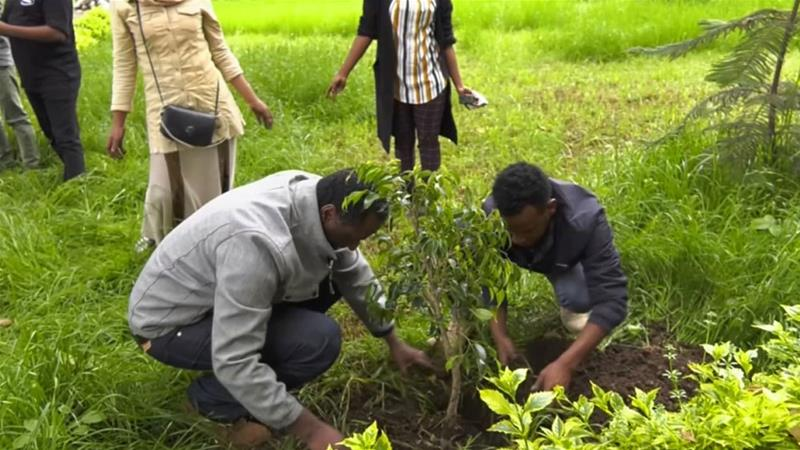 Ethiopia plants 350 million trees in one day to combat climate change