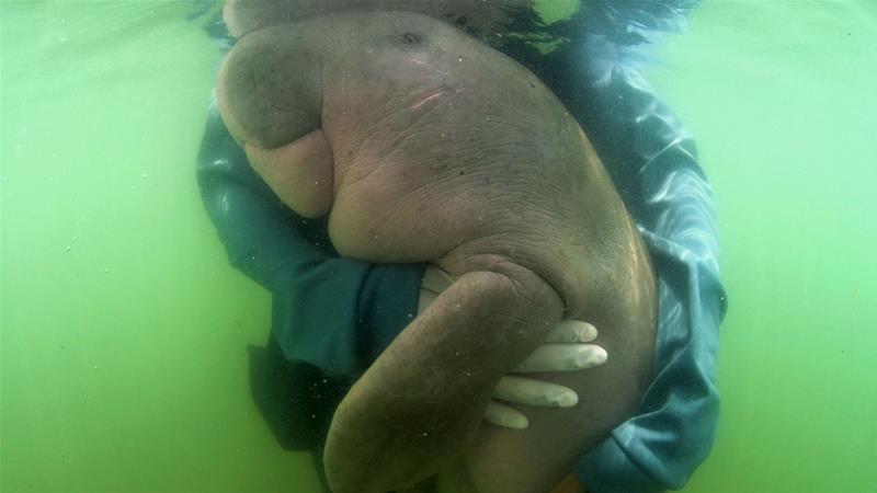 Картинки по запросу dugong