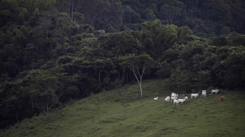 Cattle graze next to a fragment of the Atlantic Forest in Silva Jardim, Brazil on April 18, 2019 [File: AP/Leo Correa]