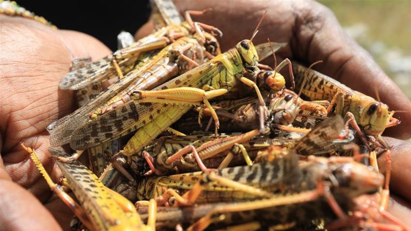 South Sudan hit by desert locust swarm as plague spreads