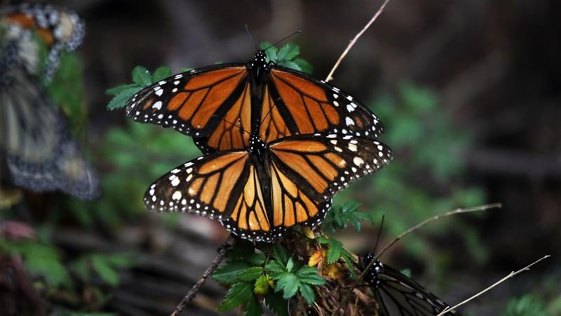 Millions of monarch butterflies that travel thousands of miles from Canada to Mexico during the winter months face new challenges linked to extreme weather, changing habitat and illegal logging [File: Marco Ugarte/AP]