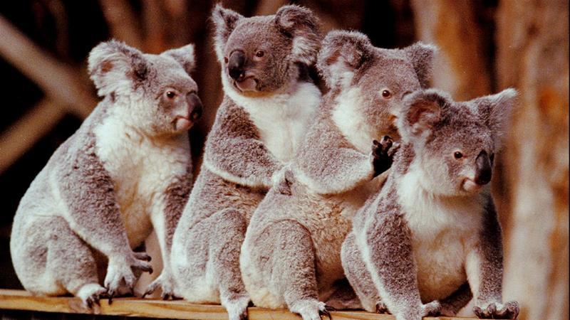 Dozens Of Koalas Dead After Logging At Australian Plantation Australia News Al Jazeera
